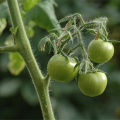 西红柿种植病情案例